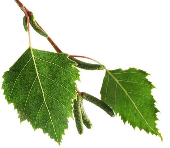 Лист береза осенью фото